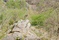 在岩石露头的Klipspringer 库存图片