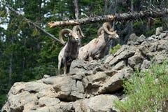 在岩石面孔峭壁顶部的两只大角野绵羊Ram在黄石国家公园在怀俄明 免版税库存图片