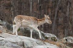 在岩石面孔的一头孤立小鹿 库存图片