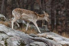 在岩石面孔的一头孤立小鹿 库存照片