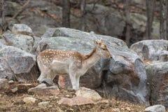 在岩石面孔的一头孤立小鹿 免版税库存照片
