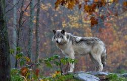 在岩石顶部的一头北美灰狼在一秋天天回顾 库存图片