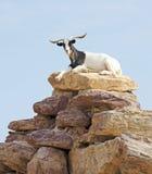 在岩石顶部的山羊 图库摄影