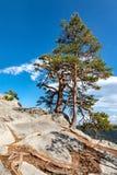 在岩石顶部的杉木 免版税库存图片