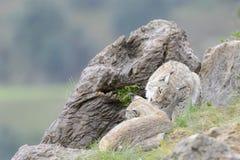 在岩石顶部的欧亚天猫座 免版税图库摄影