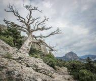 在岩石顶部的死的遗物杉木 免版税库存照片