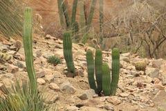 在岩石风景的仙人掌 免版税库存照片