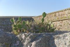 在岩石,后边古老堡垒墙壁的仙人掌植物 库存照片
