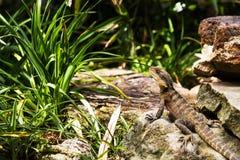 在岩石2有胡子的龙的蜥蜴 库存图片