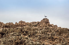 在岩石水池的海鸥 免版税库存图片