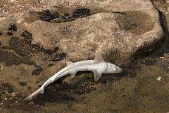 在岩石水池的婴孩鲨鱼 免版税库存照片