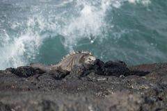 在岩石2的加拉帕戈斯群岛海产鬣蜥蜴 库存图片