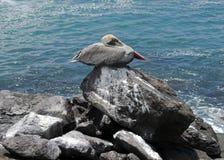 在岩石5的鹈鹕 库存照片