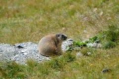 在岩石e草的老土拨鼠 图库摄影
