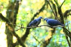 在岸上的斑尾林鸽 免版税库存照片