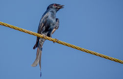 在岸上的燕卷尾 库存照片