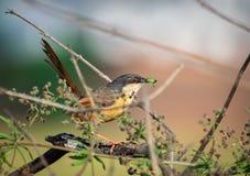 在岸上的prinia小鸟昆虫吃 免版税库存图片