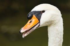 在岸的一只天鹅 免版税图库摄影