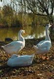 在岸的三只白色鹅在阳光下 免版税库存图片