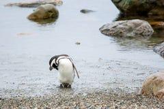 在岸的企鹅在蓬塔阿雷纳斯 免版税库存照片