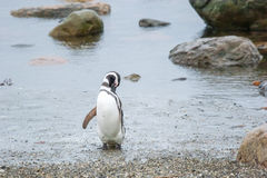 在岸的企鹅 库存图片