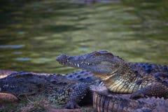 在岸的尼罗鳄鱼 非洲著名kanonkop山临近美丽如画的南春天葡萄园 免版税库存照片