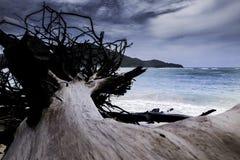 在岸的死的大树 库存图片