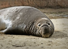 在岸的海象 免版税库存照片