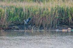在岸的灰色苍鹭着陆 库存照片
