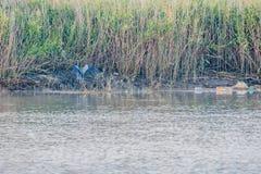 在岸的灰色苍鹭着陆 免版税库存照片