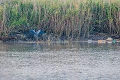 在岸的灰色苍鹭着陆 免版税库存图片