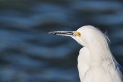 在岸的白色白鹭 免版税库存照片