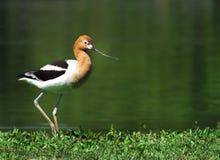 在岸的美国长嘴上弯的长脚鸟 免版税库存图片