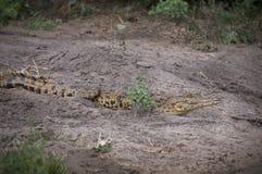 在岸的非洲鳄鱼 免版税库存照片