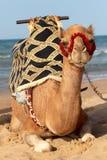 在岸的骆驼地中海 图库摄影