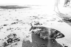 在岸的鱼骨骼在日出 免版税库存照片