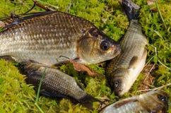 在岸的鲤鱼 免版税库存照片