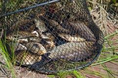 在岸的鲤鱼 免版税库存图片