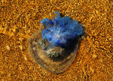 在岸的水母 免版税图库摄影