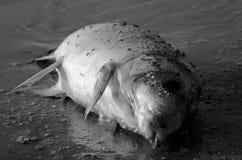 在岸的死的鱼 图库摄影