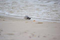 在岸洗涤的死的河豚 库存照片