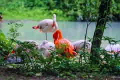 在岸s的美丽的桃红色火鸟 免版税图库摄影