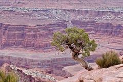 在峡谷外缘的杜松树 图库摄影