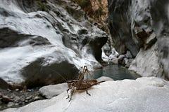 在峡谷的蚂蚱 免版税图库摄影