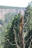在峡谷的Charater树 图库摄影
