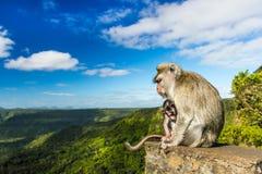 在峡谷观点的猴子 毛里求斯 库存照片