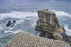 在峭壁上面的Gannets殖民地 免版税库存照片