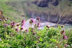 在峭壁岩石,苏格兰的花 图库摄影