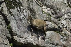 在峭壁的一只孤立高地山羊 免版税库存图片