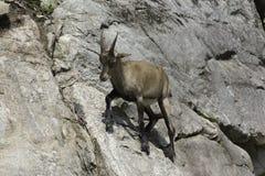 在峭壁的一只孤立高地山羊 库存图片